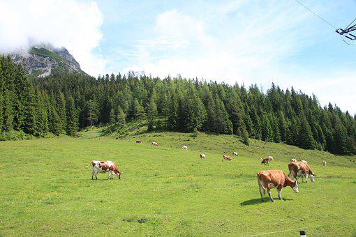 Alm, Cattle, Rural, Animals, Graze, Mountains, Cows