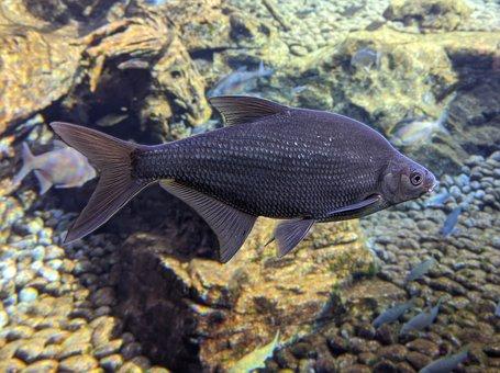 Fish, Carp, Under Water, Water, Nature, Swim, Animal