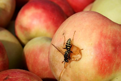 Bee, Wasp, Hornet, Apple, Insects, Nature, Hornets