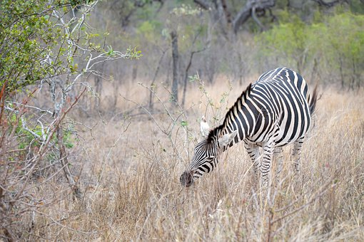 Zebra, South Africa, Horse, Animal, Nature