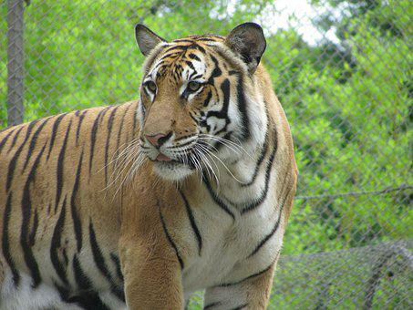 Tiger, Stripes, Cat, Animal, Wildlife, Predator, Mammal