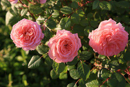 Roses, Spring, Nature, Pink, Flower, Romantic, Smell