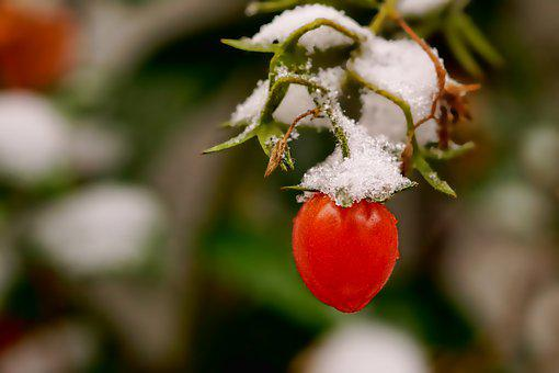 Nature, Vegetables, Tomatoes, Snow, Snow Cover