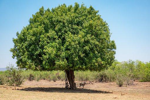 South Africa, Tree, Impala, Imposing, Large, Nature