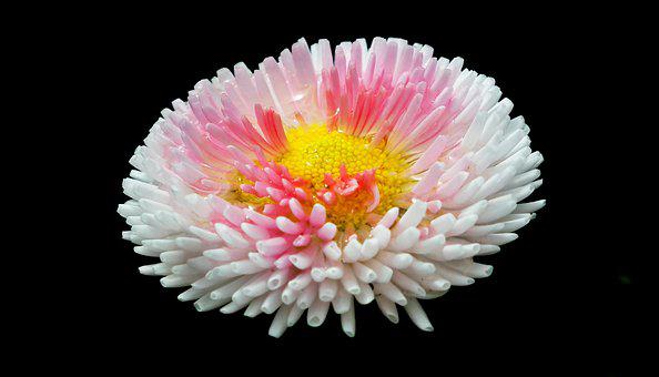 Daisy, Flowers, Spring, Nature, Pink, Garden, Macro