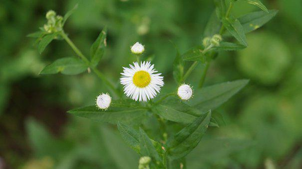 Chamomile, Flowers, Bloom, Nature, Plant, Summer