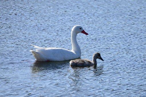 Swans, Birds, Water, Blue, Swan, Lake, White, Plumage