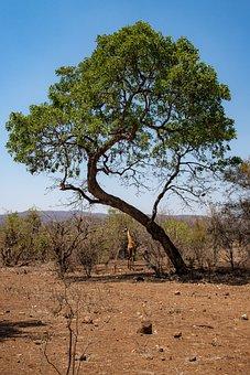 Giraffe, Tree, Nature, Africa, Safari, Animal, Wild