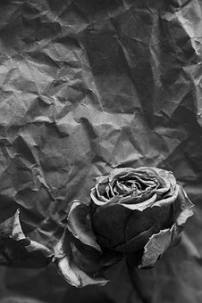 Faded, Fading, Wilted, Wilting, Rose, Petals, On, Old