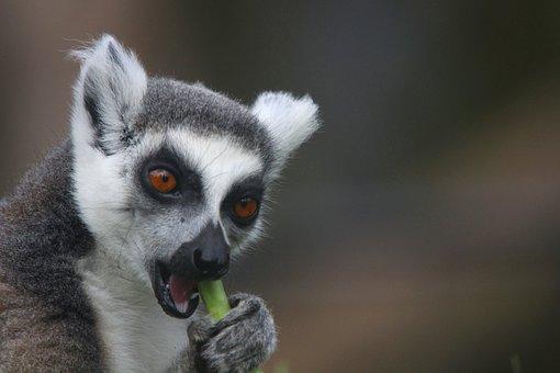Lemur, Zoo, Monkey, Feed, Feeding, Eat, Animal