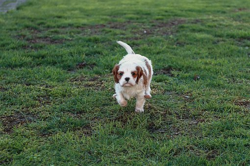 Baby, Dog, Cavalier, Sweet, Puppy, Animals, Small