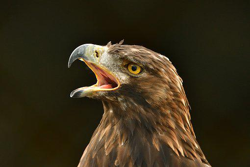 Adler, Bird, Bird Of Prey, Nature, Head, Close Up