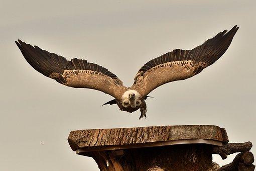 Vulture, Bird, Nature, Scavengers, Bird Of Prey, Wild