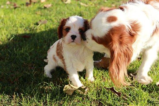 Dog, Cavalier, Sweet, Animals, Brown, Leather, White