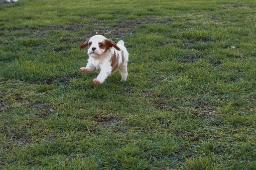 Dog, Baby, Cavalier, King, Charles, Spaniel, Young