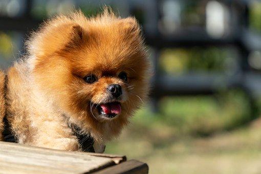 Pomeranian Dog, Happy Puppy, Cut, Pomeranian, Cute