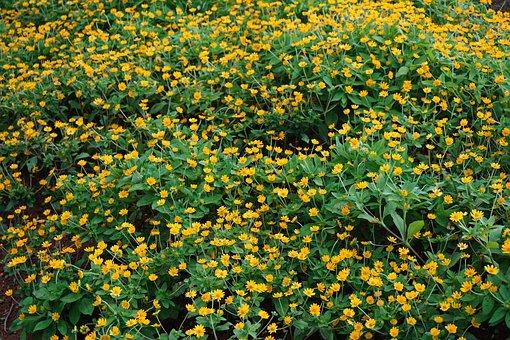 Daisy, Field, Flower, Nature, Natural, Blossom