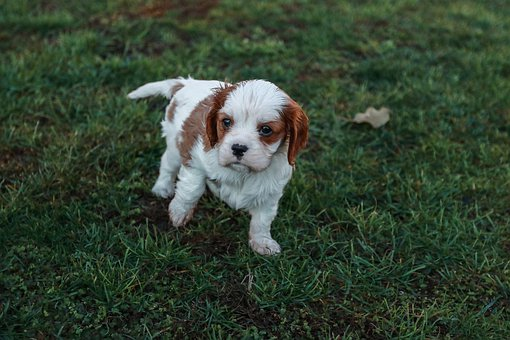 A Little, Dog, Cavalier, King, Charles, Spaniel, Baby