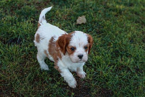Cavalier, King, Charles, Spaniel, Dog, Baby, Brown
