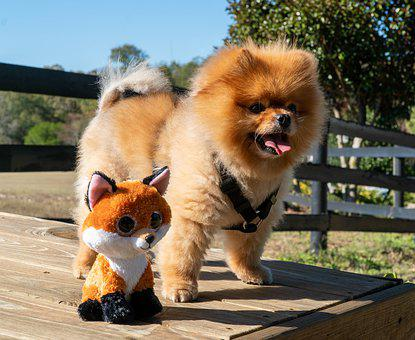 Pomeranian Dog, Puppy, Pomeranian, Dog, Cute, Animal