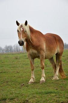Horse, Draft Horse, Animal, Equine, Mare, Workhorse