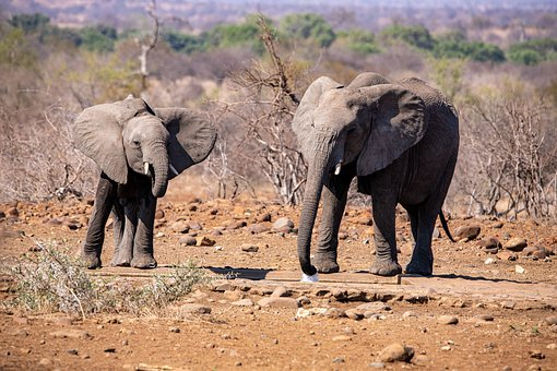 Elephant, Drink, Africa, Safari, Nature, Water