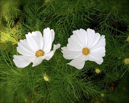 Flowers Aster, White, Botanical Garden, Flowering