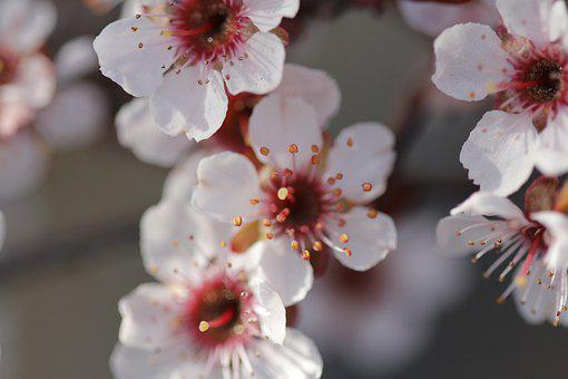 Cherry Blossoms, Flowers, Spring, Blossom, Bloom