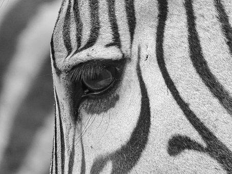 Hartmann's, Zebra, Hartmann, Hartmann's Mountain Zebras
