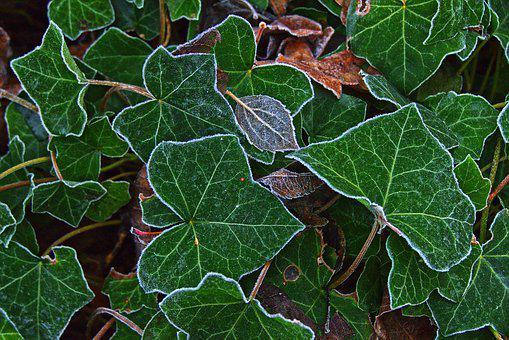 Ivy, Leaves, Hoarfrost, Ripe, Morning Sun, Cold, Frozen