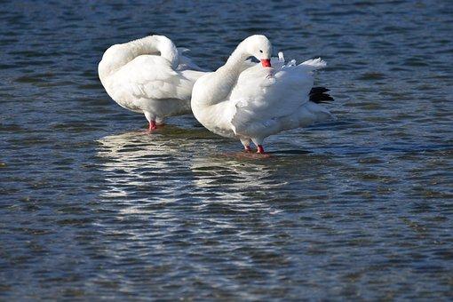 Swans, Couple, Water, Blue, Groom, Lake, Swan, Ave