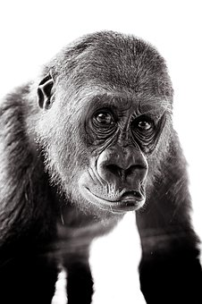 Monkey, Gorilla, M, Portrait, Zoo, Primate, Mammals
