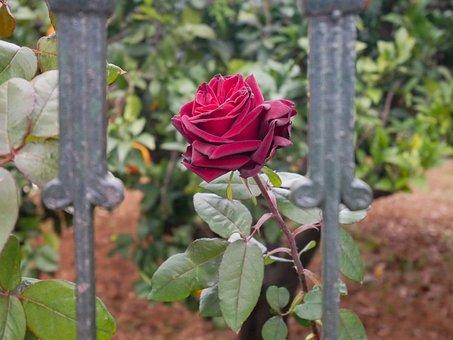 Rosa, Garden, Flower, Nature, Flowers, Romantic