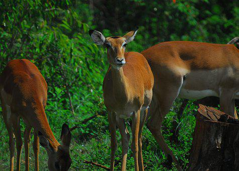 Impala, Antelope, Nature, Africa, Nairobi