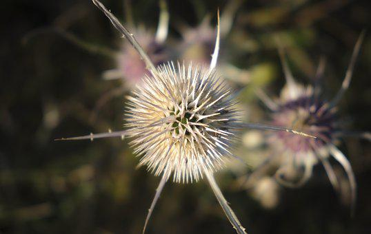 Card, From Above, Thistle, Macro, Prickly, Wild Flower