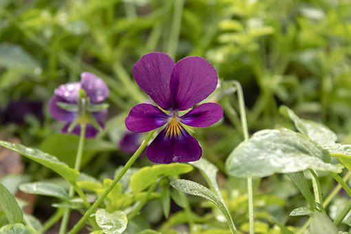 Pansy, Flower, Flowers, Garden, Blooms At, Purple