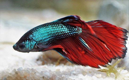 Beta, Betta, Warrior, Aquarium, Fishy, Red, Asian