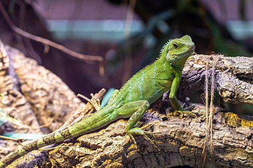 Iguana, Reptile, Animal, Lizard, Dragon, Animal World