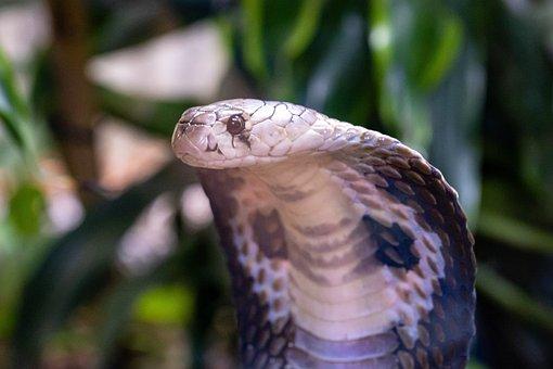 Snake, Cobra, Glasses Cobra, Reptile, Animal