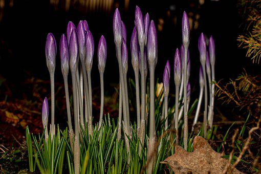 Close Up, Crocus, Spring, Nature, Early Bloomer