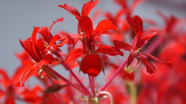 Red, Flower, Nature, Garden, Summer, Beauty, Perfume
