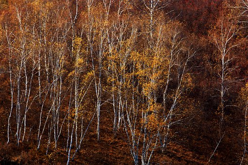 Autumn, Tree, Golden Yellow, The Scenery, Plant, Sky