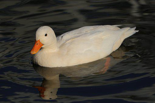 Duck, Bird, Waterfowl, White Frog If You Like, Animals
