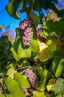 Grapes, Vine, Wine, Winegrowing, Grapevine, Agriculture