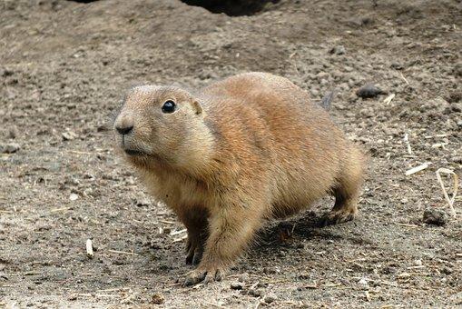 Prairie Dog, Zoo, Blijdorp, Rotterdam, Rodent, Animals