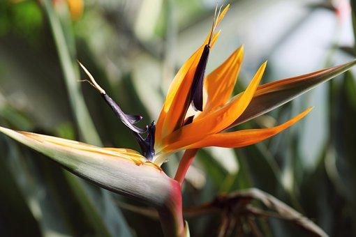 Orange, Flower, Strelitzia Reginae, South, Africa