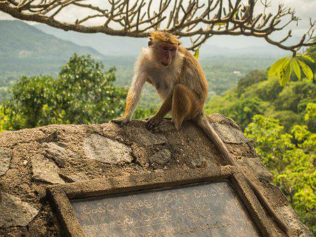 Sri Lanka, Dambulla, Nature, Monkey, Animal, Wild