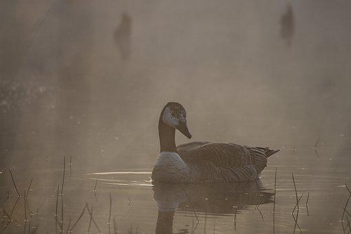 Goose, Canada Goose, Bird, Nature, Animal, Plumage