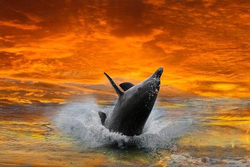 Animals, Mammal, Dolphin, Sea, Ocean, Jump, Sunset