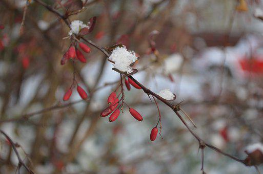 Barberry, Red, Berry, Bush, Branch, Autumn, Fruit
